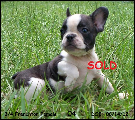 Frenchton And French Bulldog Puppies For Sale Highnote Alabama