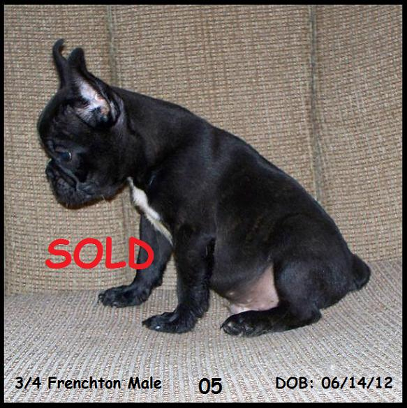 Frenchton and French Bulldog Puppies for Sale - Highnote Alabama