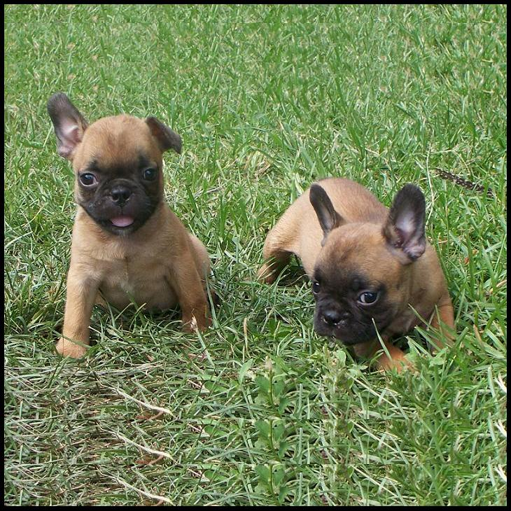 Frenchton Puppies - For Sale: ↓ ↓ ↓