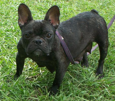 Frenchton And French Bulldog Puppies For Sale Highnote
