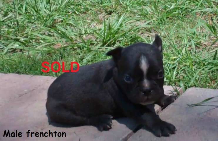 French Bulldog Puppies for Sale Alabama