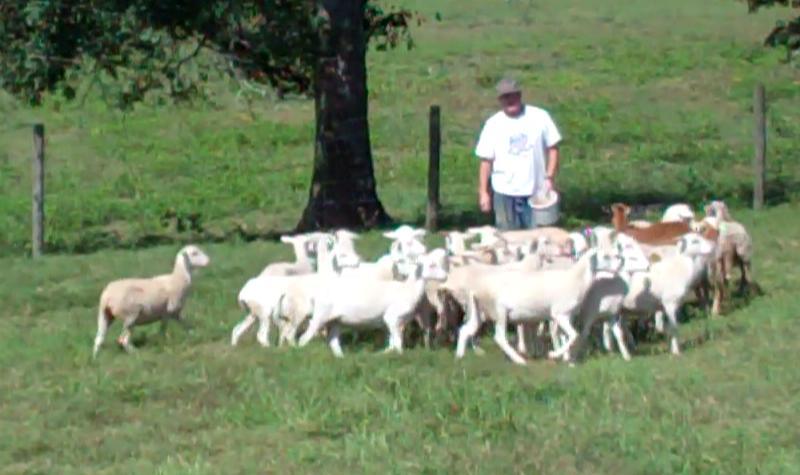 Katahdin Dorper cross ram lambs for Sale - Highnote Alabama